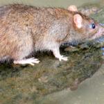 ネズミの寿命はどれくらい?家に住み着いてもいつかは死滅する?
