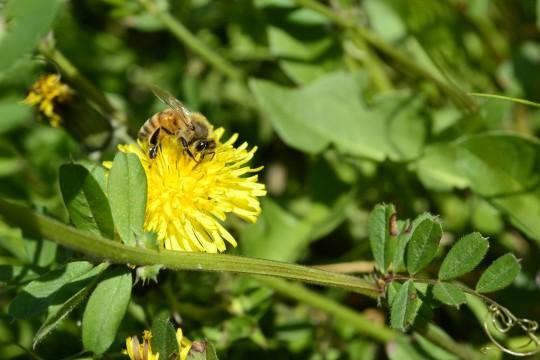 ミツバチ 危険度少なめ