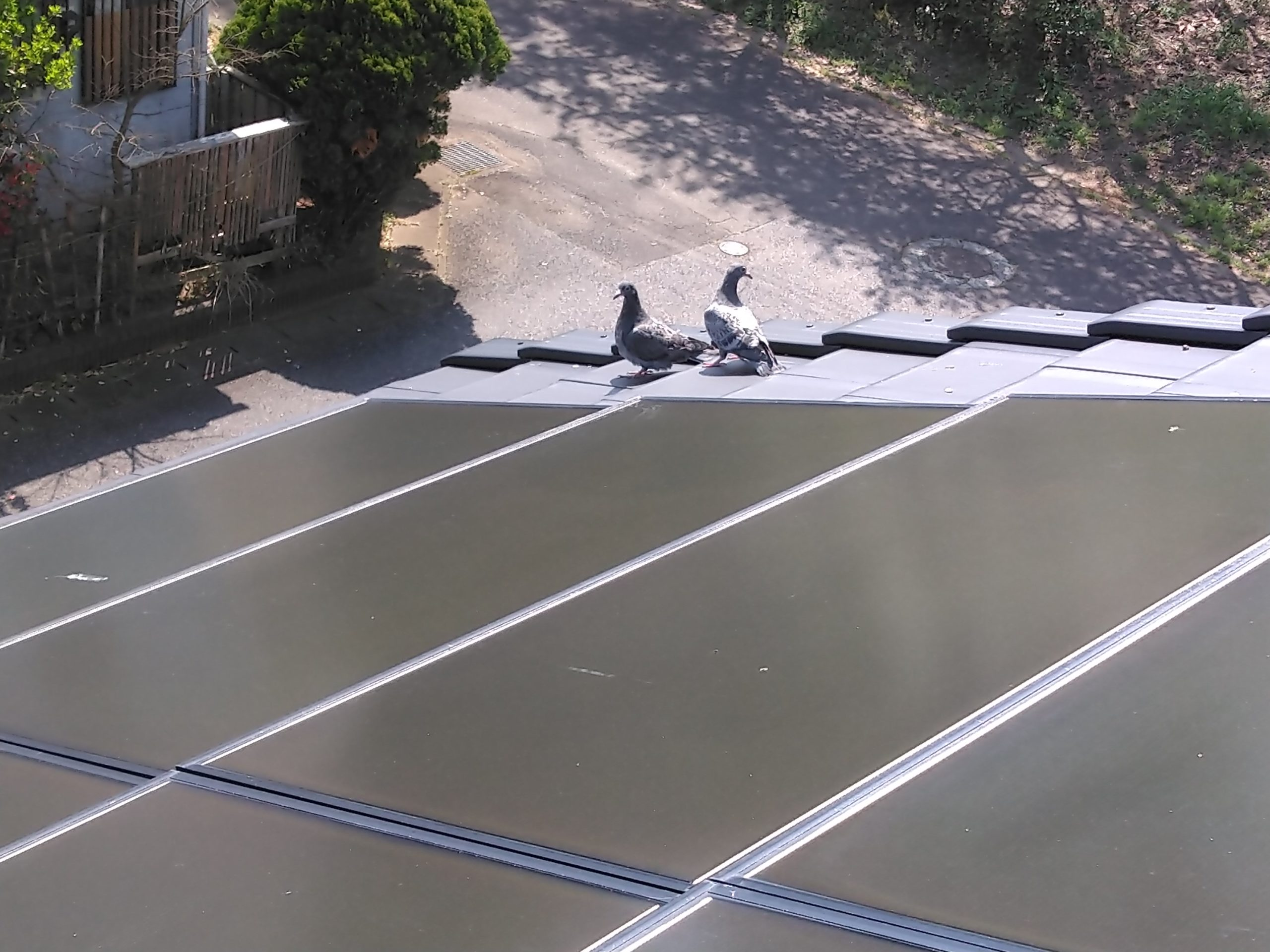 太陽光ソーラーパネルにとまるハト