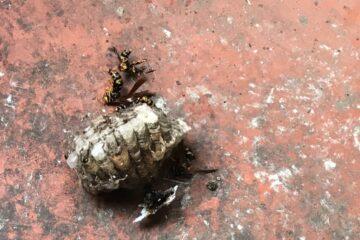 東京都江戸川区のT様のハチ駆除