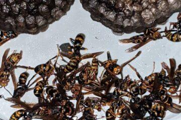 千葉県印西市のK様のハチ駆除