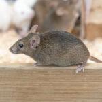 アパートや高層マンションにネズミ!5階以上から何階まで登る?クマネズミの運動能力!