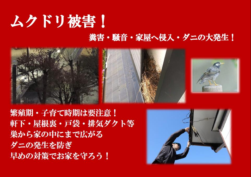 千葉・東京・茨城のムクドリ駆除なら害鳥駆除のクジョリアへお任せください。