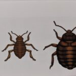 人間の血を吸う小さな吸血虫!トコジラミ(南京虫)とダニの違いについて
